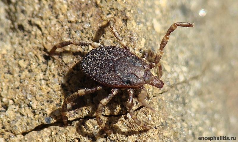 Фото самки клеща рода Hyalomma