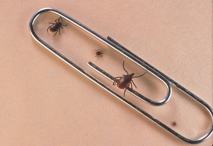 Самец, нимфа, самка и личинка клеща Ixodes
