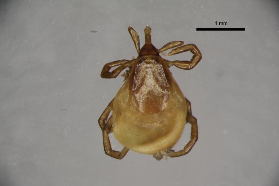Самка клеща Ixodes apronophorus